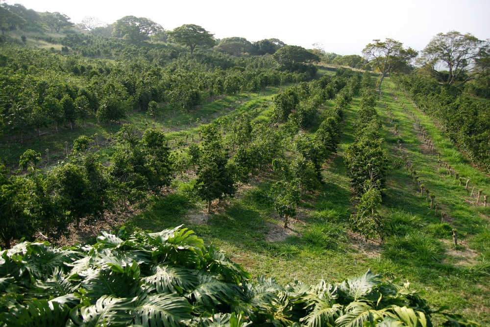 Hawaii Coffee Plantation Farm