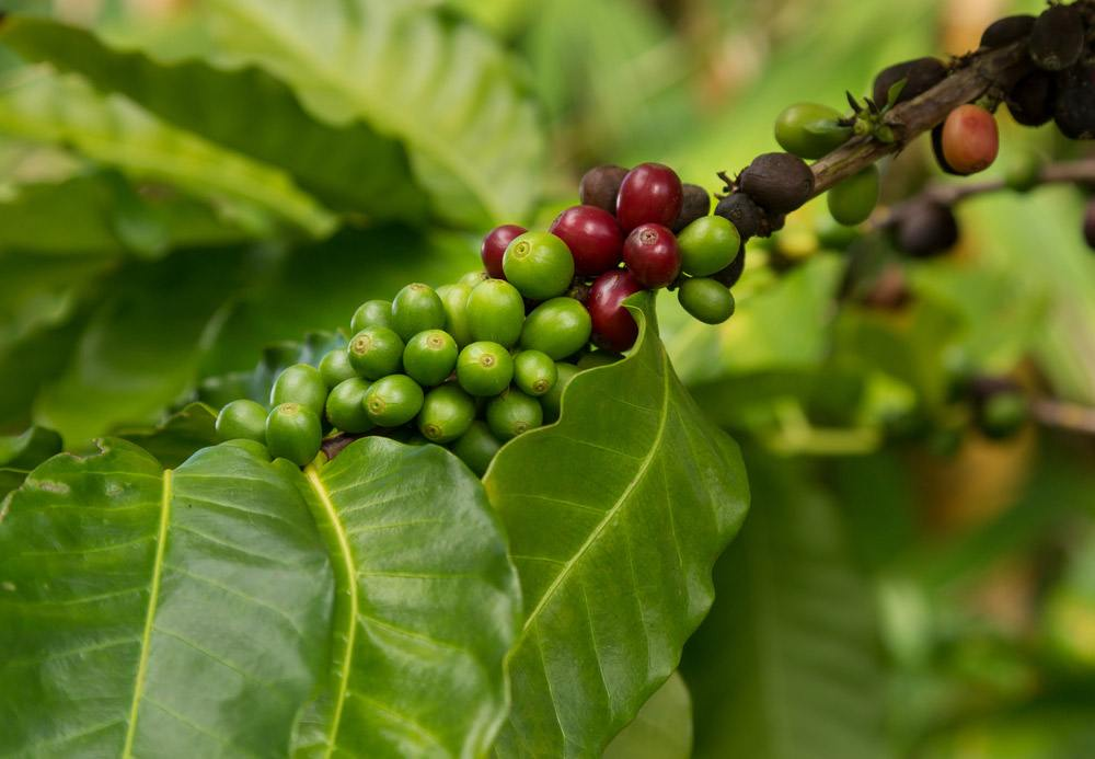 Hawaiian Kona Red Coffee Beans