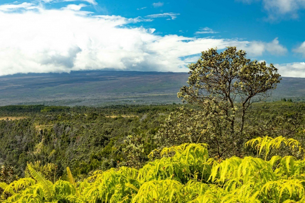 Ohia Tree and Native Ferns with Mauna Loa in Background Big Island