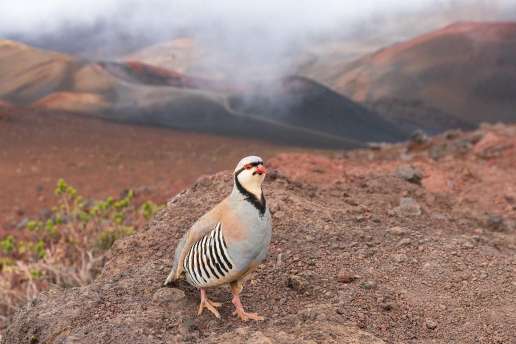haleakala summit hike bird